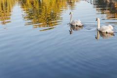 2 белых лебедя на озере Стоковая Фотография