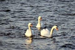 3 белых лебедя на патруле работа команды Стоковые Изображения RF