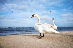 2 белых лебедя на пляже Стоковое Изображение RF