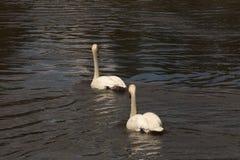 2 белых лебедя на реке Deschutes Стоковое фото RF