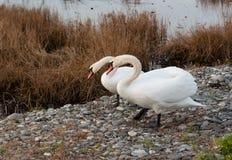 2 белых лебедя около соленого болота Стоковые Фотографии RF