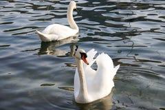 2 белых лебедя плавая на заходе солнца в озере Стоковое Изображение RF