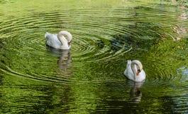2 белых лебедя плавая на зеленую воду Стоковые Фото