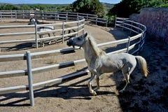 2 белых лошади жеребца Стоковое Фото