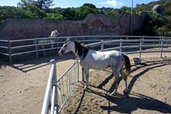 2 белых лошади жеребца Стоковая Фотография