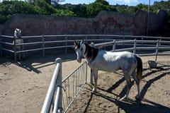 2 белых лошади жеребца Стоковая Фотография RF