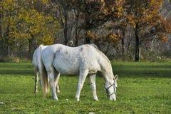 2 белых лошади пася предпосылку природы осени травы Стоковое Изображение