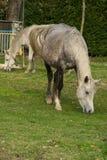 2 белых лошади пася свободно в обрабатываемой земле Стоковая Фотография