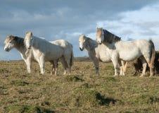 4 белых лошади пася Стоковая Фотография