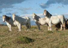 4 белых лошади стоя в поле Стоковые Фотографии RF