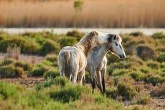2 белых лошади Camargue Стоковая Фотография RF