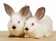 2 белых маленьких кролика Стоковая Фотография