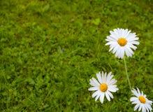 3 белых маргаритки на предпосылке зеленой травы Стоковые Фото