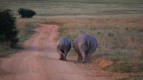 2 белых носорога идя прочь Стоковые Изображения RF