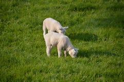 2 белых овечки есть траву Стоковое Фото
