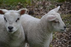 2 белых овечки совместно смотря вас Стоковое Изображение