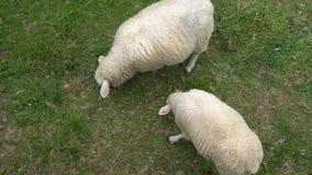 2 белых овцы едят траву и пасут в выгоне сток-видео
