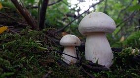 2 белых одичалых гриба в мхе Стоковая Фотография