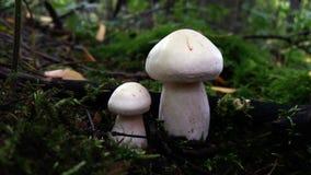 2 белых одичалых гриба в мхе Стоковые Фотографии RF