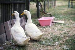 2 белых отечественных утки Стоковые Изображения