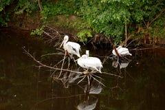 3 белых пеликана сидят на сухом дереве, отраженном в пруде, dar Стоковое Изображение