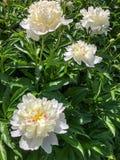 4 белых пиона с зелеными листьями Стоковое Изображение RF