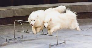 2 белых собаки скачут над барьером в цирке Стоковая Фотография
