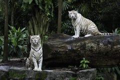 2 белых тигра Бенгалии в джунглях Стоковое Фото