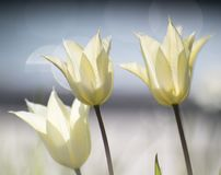 3 белых тюльпана на голубой предпосылке Стоковые Изображения RF