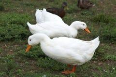 2 белых утки ища для еды вдоль речного берега Стоковая Фотография