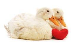 2 белых утки и сердца Стоковые Фотографии RF