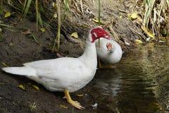 2 белых утки на ферме около воды Стоковые Изображения RF