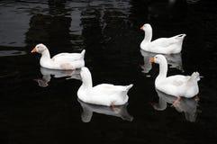 4 белых утки плавая в озере в спокойной черной воде Стоковые Изображения