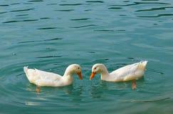 2 белых утки плавая Стоковая Фотография RF