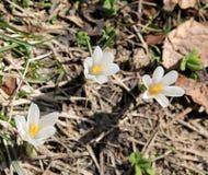 3 белых цветка вызвали Венеру Крокуса Стоковое Изображение