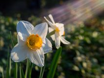 2 белых цветка в солнечном луче Стоковое Изображение RF