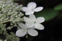 3 белых цветка и много бутонов Стоковое Изображение