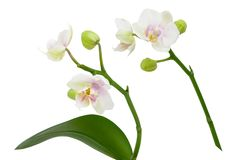2 белых цветка орхидеи на стержне при листья изолированные на белой предпосылке Стоковые Фотографии RF
