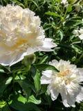 2 белых цветка пиона с зелеными листьями Стоковые Фото