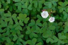 2 белых цветка с зеленой предпосылкой Стоковое Изображение RF