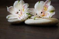 2 белых цветка alstroemeria лежат на камнях для массажа Стоковое Изображение RF