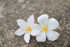 2 белых цветка, frangipani Стоковые Изображения RF