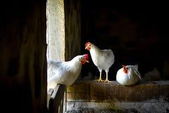 3 белых цыплят стоя в амбаре Стоковое Изображение RF