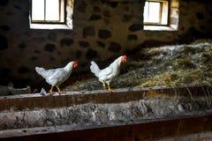 2 белых цыплят стоя в амбаре Стоковые Фотографии RF
