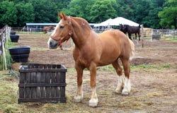 бельгийская лошадь проекта Стоковая Фотография RF