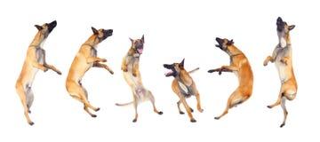 бельгийский чабан собаки Стоковые Изображения RF