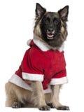 бельгийский чабан собаки tervuren стоковые фото