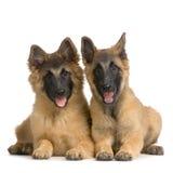 бельгийский щенок tervuren Стоковое Изображение RF