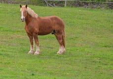 Бельгийское положение лошади проекта на профиле стоковая фотография rf