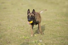 Бельгия Malinu собака Стоковая Фотография RF